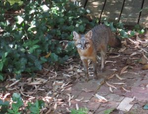 A grey fox in North Carolina. She has four kits under the wooden paneling behind her. -- Dcrjsr 2010