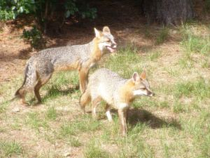 Adult male and female grey foxes -- Apterex 2009