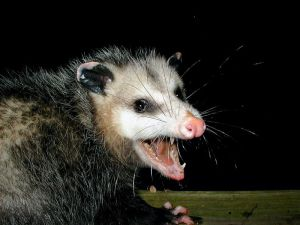 Irritated opossum -- (PiccoloNamek 2006)