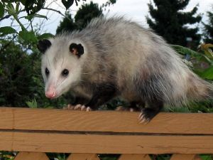 Virginia opossum in Western Canada --(Drcyrus 2007)