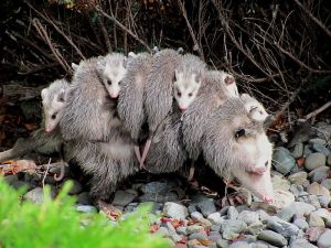 Virginia Opossum carrying her young -- (Specialjake 2012)
