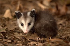 This adorable young opossum will have a harder time keeping warm than an adult! -- (Liam Wolff 2011)