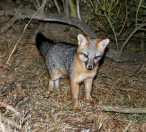 Grey fox kit at the Baylands -- Bill Leikam 2011