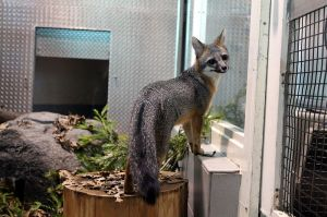 A grey fox in captivity at the Lindsay Wildlife Museum in Walnut Creek, CA. -- Milonica 2012