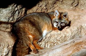 A grey fox resting in the rocks -- Gary Stolz, USFWS 2013