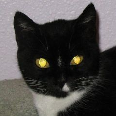 A black and white house cat (Felis catus) showing yellow eyeshine -- Una Smith 2008