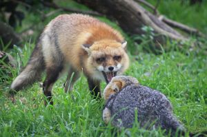 A red fox snarling at a grey fox on the San Joaquin National Wildlife Refuge, CA -- USFWS Pacific Soutwest Region 2013